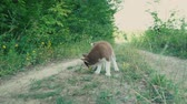 little : Pretty puppy of the Husky breed Stock Footage