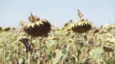 grown : Sunflower ripened dry sunflower field Stock Footage