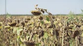 girassol : Sunflower ripened dry sunflower field Stock Footage
