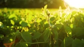 művel : Soybean bloom at sunset close up. Agricultural soy plantation background.