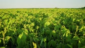 Soybean bloom at sunset close up. Agricultural soy plantation background.