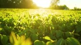 gemüsebeet : Soybean bloom at sunset close up. Agricultural soy plantation background.