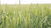 cevada : Ears of wheat on a spring green field