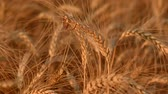 golden : Wedding gold rings on ear of wheat Stock Footage