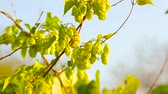 hop garden : Hops plant that grows in the garden, on the farm on a background of blue sky, Ingredient hops beer and kvass. Stock Footage