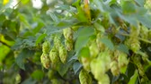 hop garden : Hops plant, growing in garden, on farm. Ingredient hops for beer and kvass Stock Footage