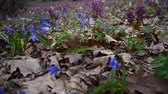 kar taneciği : Spring colorful flowers in forest blooming in spring Park. Flowers in forest Scilla, Corydalis. Stok Video