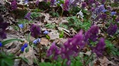 kar taneciği : Flowers in forest Corydalis, Scilla. Spring colorful flowers in blooming in spring Park.