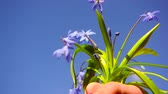 flower growing sun : beautiful blue Scilla flowers in male hand on blue sky background , flowers bluebells man holds in his hand