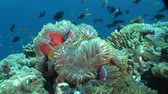 анемон : anemonefish and anemone