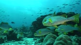 plectorhinchus : School of Plectorhinchus cinctus Stock Footage