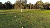 원주민 : Aerial shot of Kangaroos grazing at sunset, wide shot moving forward. Queensland, Australia