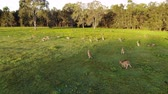 Aerial shot of Kangaroos grazing at sunset, medium shot reversing. Queensland, Australia