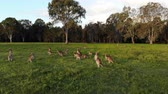 Aerial shot of Kangaroos grazing at sunset, medium shot moving forward. Queensland, Australia Wideo