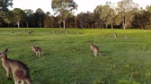 kanguru : Aerial shot of Kangaroos grazing at sunset, medium shot reversing. Queensland, Australia
