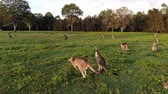 Aerial shot of Kangaroos grazing at sunset, tight shot moving left. Queensland, Australia