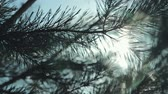 decorativo : Coniferous branch with sun light, HD