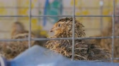lawn : Quails in cages at home farm. Poultry farming and eco-friendly concept. Close up shot Stock Footage