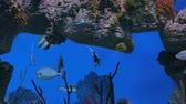 meeresbewohner : Shoal of colourful fishes swimming in huge aquarium. Coral reef on background Stock Footage