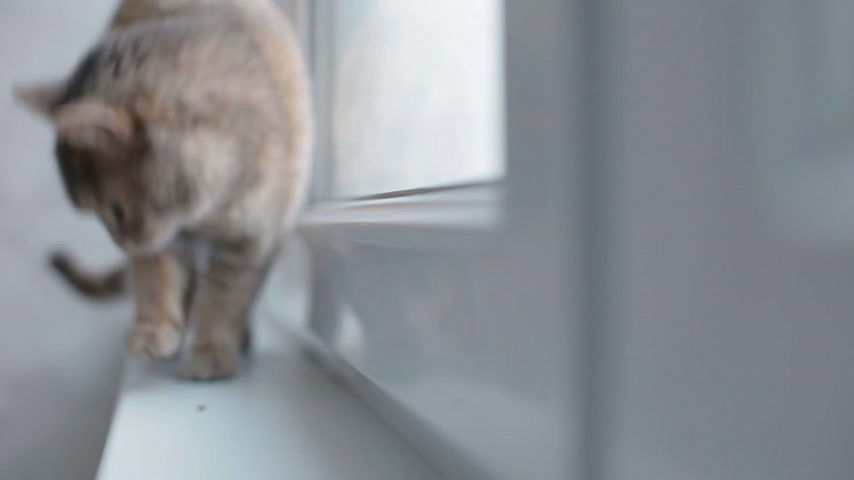 jump away : Grey cat walking on the window sill and run away Stock Footage