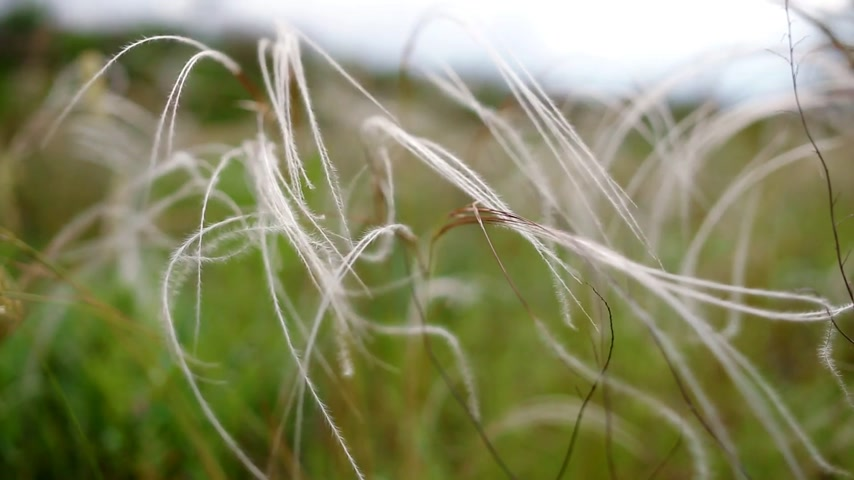 filigrana : View of feather grass or needle grass. on the wind beautiful backdrop.