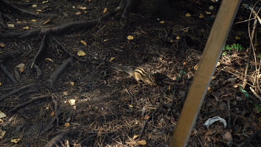 wiewiórka : Chipmunk sits on the ground in the forest and eats feed. Squirrel family