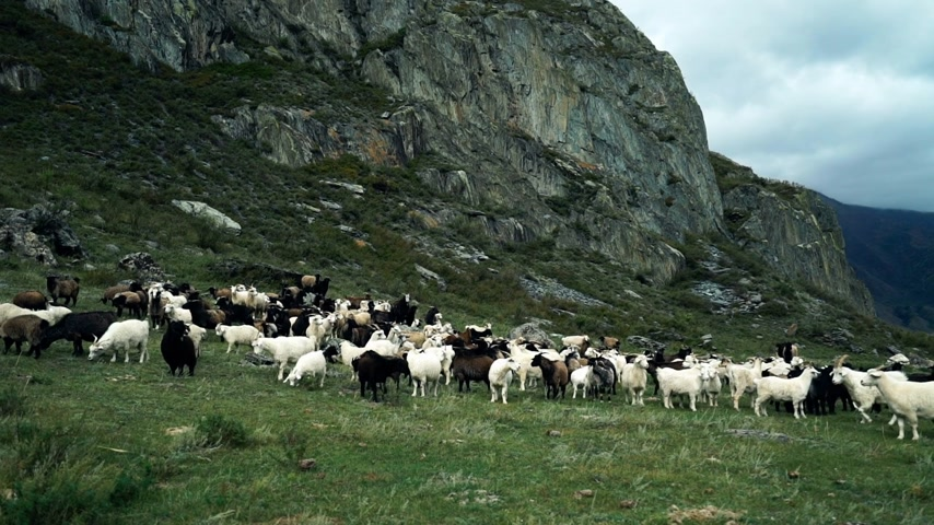 cordeiro : Black and white goats graze in a green meadow in the stone mountains Vídeos