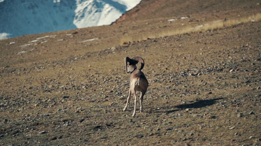 The argali, or the mountain sheep is a wild sheep that roams the highlands of Central Asia, in the Pamirs, in the Himalayas, Altai, Sayan Mountains of Mongolia and Tibet