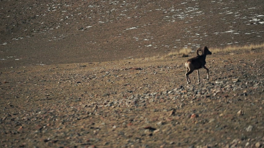 foothills : The argali, or the mountain wild sheep is on the foothills