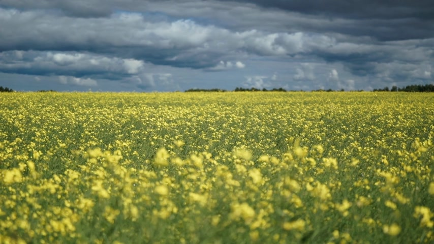 canola : fields full of yellow rapeseed flowers for canola oil production