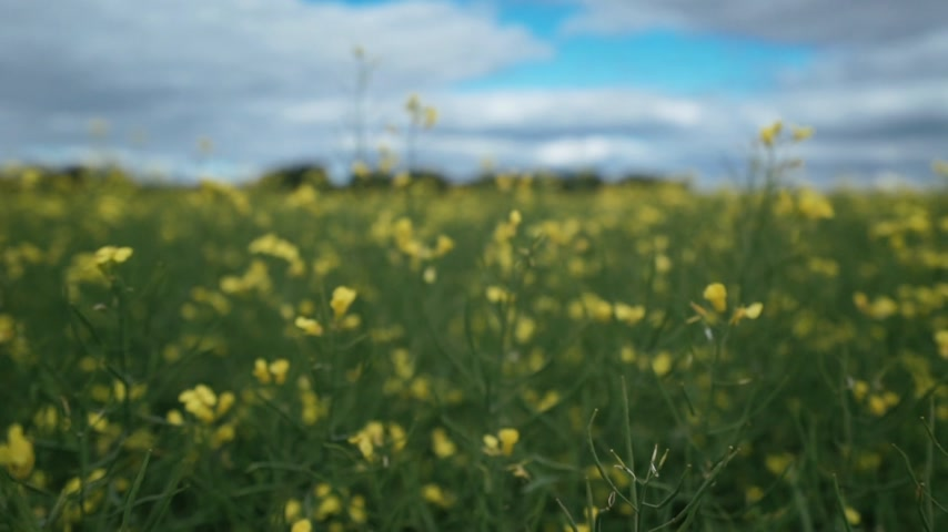 camera moves across the field through yellow rapeseed flowers, close-up
