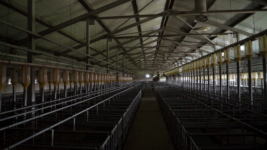 Modern industrial farm for breeding pigs, modern tech automated room insemination