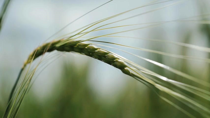 Fresh young wheat ear close-up macro in nature. Background is blurred Wideo