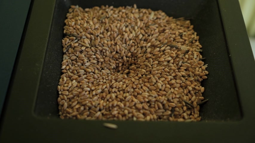 close-up wheat grains are poured into the device for testing and rate the quality of various grains