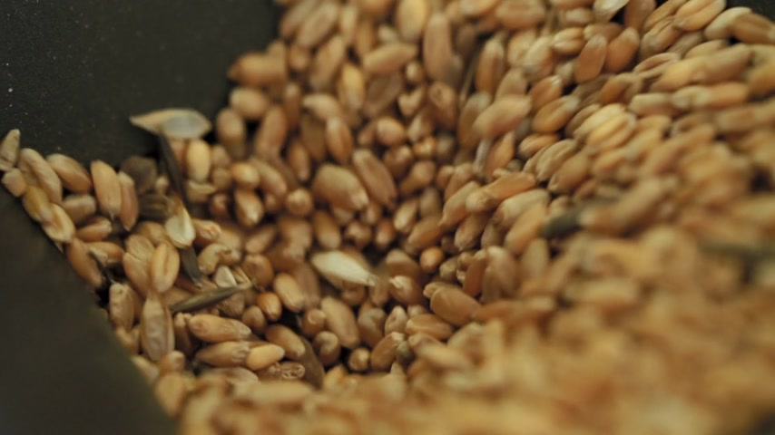 close-up wheat grains are poured into device for control quality of various grains Wideo