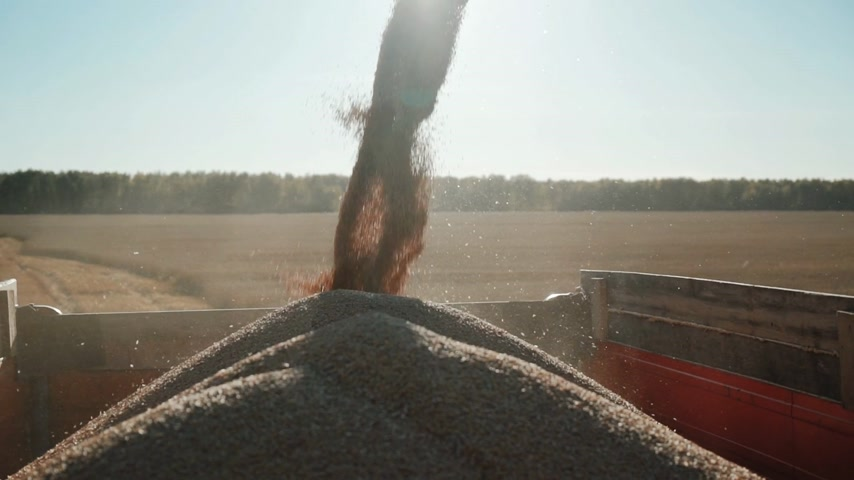 combinar : stream of grain wheat funneled into truck container Stock Footage