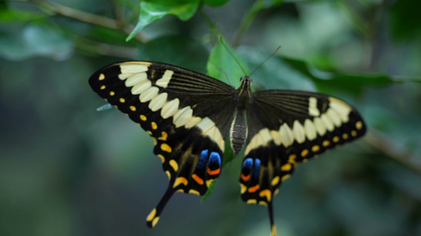 pulkanatlılar : Many frames of different butterflies that sit on the leaves, flowers. Mounting video. 4K Slow Mo