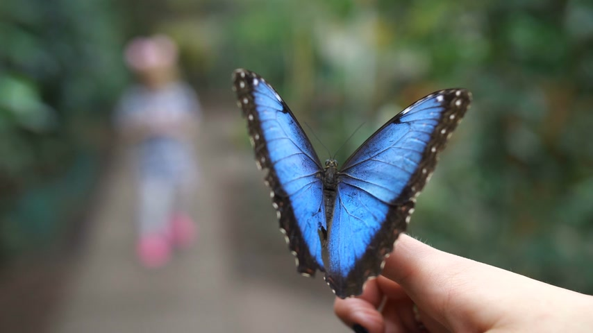 pulkanatlılar : In the foreground sits a very beautiful blue butterfly. In the blur in the background is read the silhouette of a little girl. 4K Slow Mo