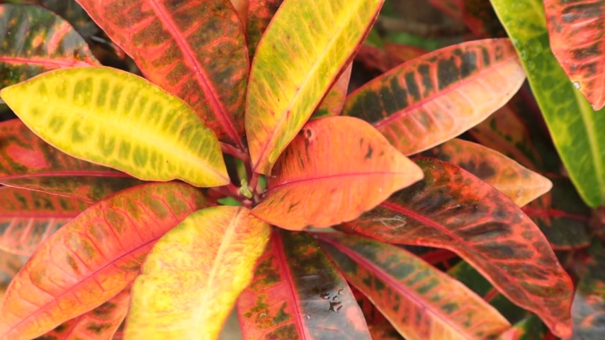 variegado : Croton plant leaves blowing in the wind with their vibrant green red yellow foliage, high definition movie clip stock footage. Stock Footage
