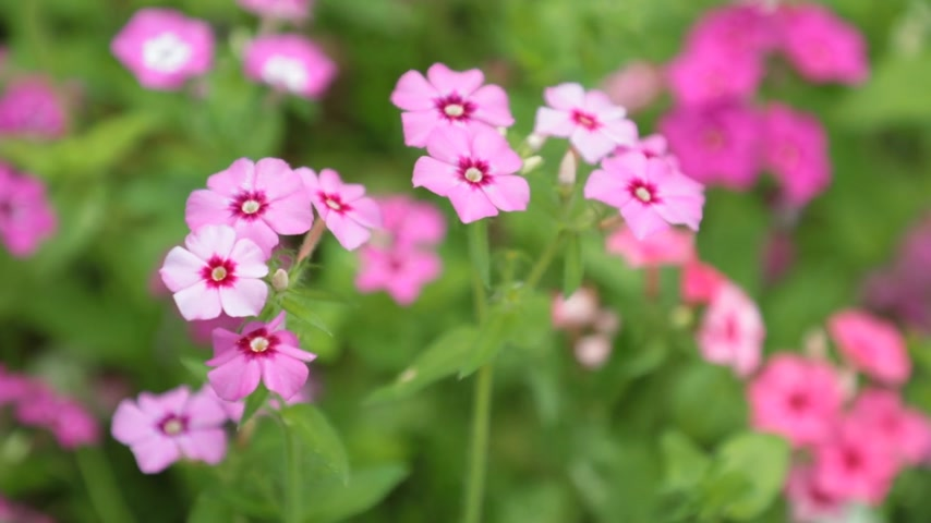hybrids : Verbena trailing perennial red pink white flowers with a blurred background, high definition movie clip stock footage.
