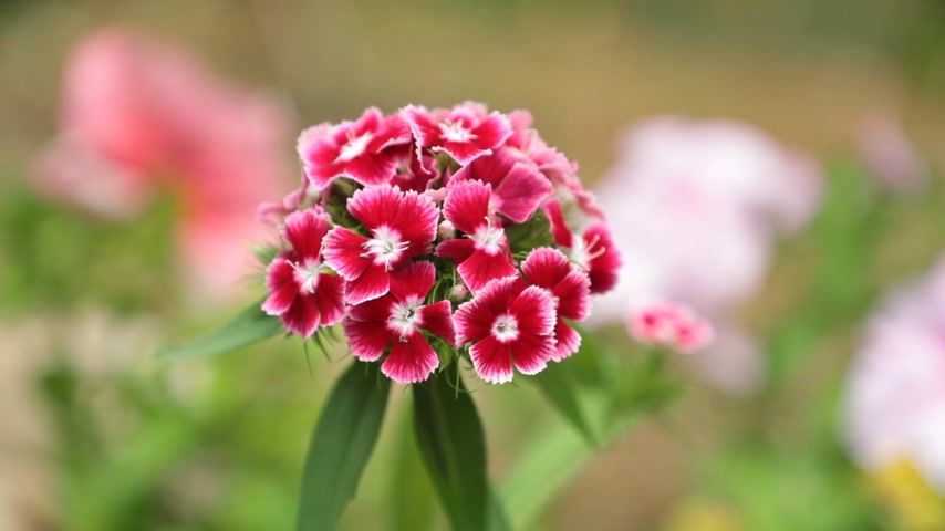 hybrids : Verbena hybrids trailing perennial red pink white flowers with a blurred background, high definition movie clip stock footage.