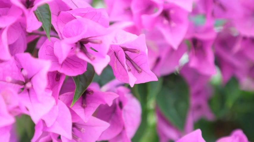 clipe de papel : Bougainvillea or paper flower purple flowers a genus of thorny ornamental vines high definition stock footage clip.
