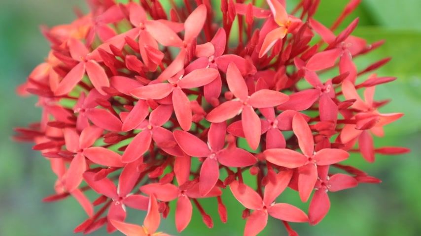герань : Ixora coccinea also known as jungle geranium, flame of the woods or jungle flame ornamental garden flowers in spectacular vibrant red with green foliage, high definition stock footage clip.