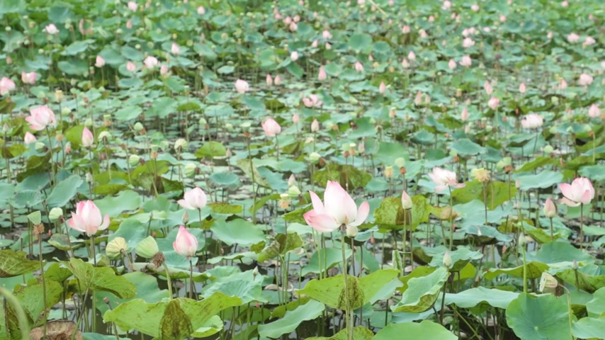 lilyum : Water lilies nymphaeaceae in pink in a lily pond, with a green foliage background high definition stock footage. Stok Video