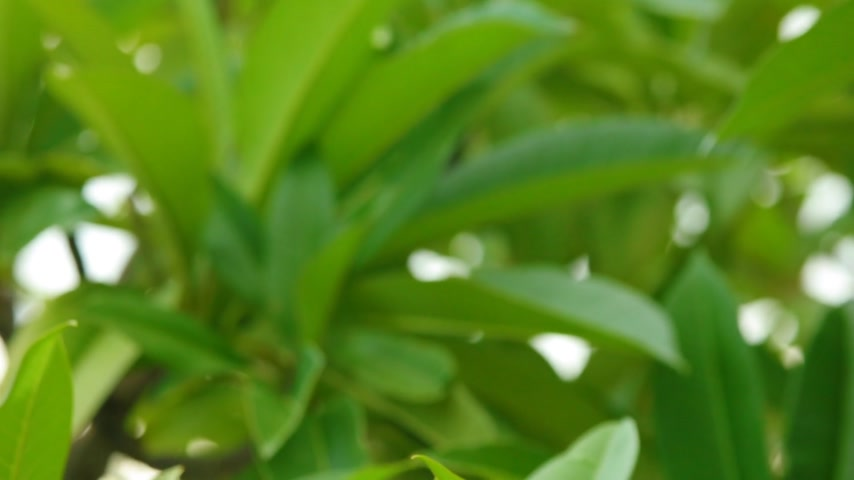 camera panning : Plumeria rubra or common frangipani flowering tree with white and yellow blooming flowers and vibrant green foliage, panning panoramic high definition stock footage video clip.