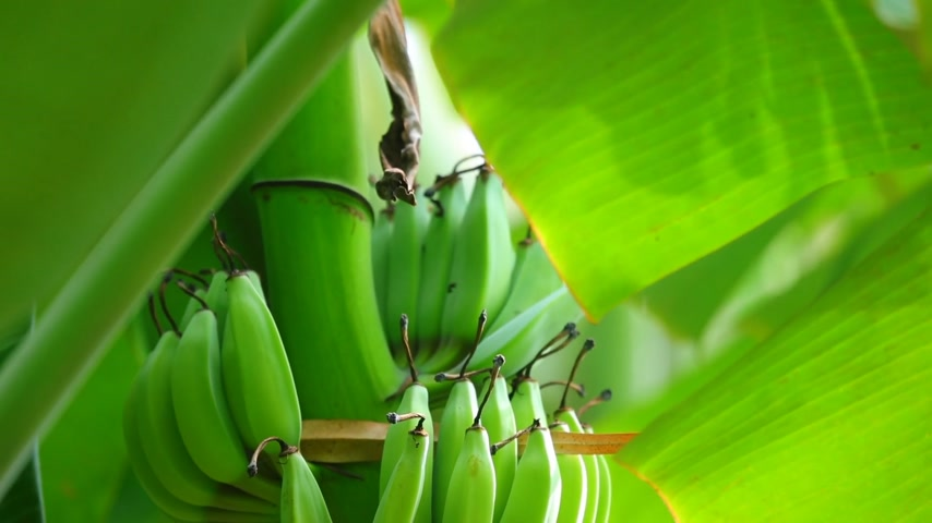 frondoso : A cluster of bananas growing on a banana tree plantation, natural farmland in central Vietnam. Vibrant green leafy foliage bokeh background, closeup shot camera panning downwards.