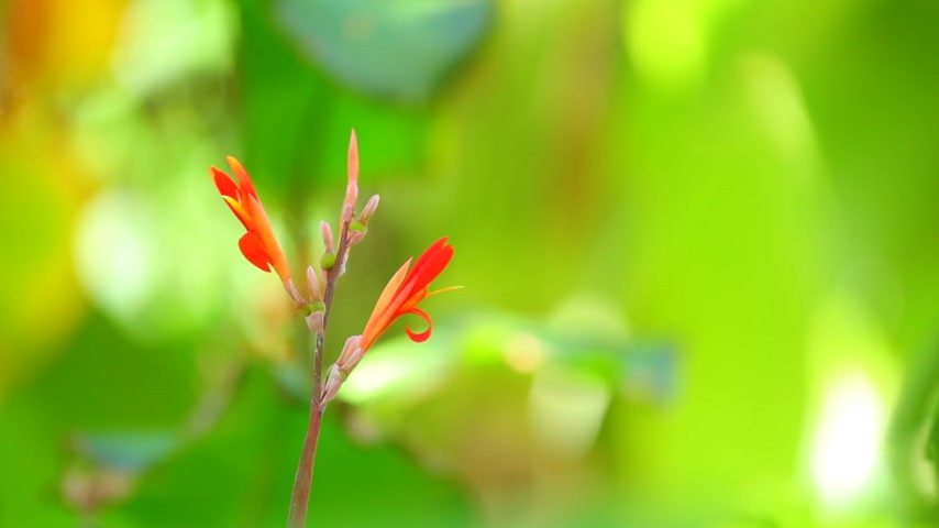 short clip : Canna lily vibrant red plant flowers medium shot with green vegetation bokeh background shallow depth of field. In high definition colourful foliage nature.