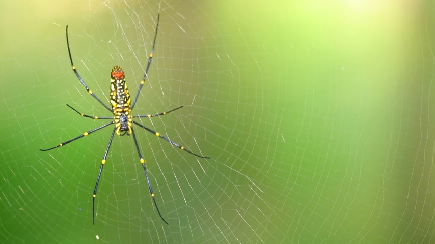 arachnophobia : Spider closeup nephila pilipes, northern golden orb weaver or giant golden orb weaver one of the largest spiders in the world. With green nature forest bokeh background. Stock Footage
