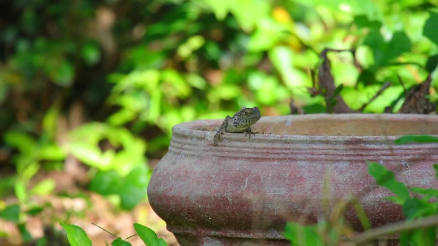 pullu : Oriental garden lizard or garden lizard, agamid lizard, agamidae family also know as dragons or dragon lizards. Basking in the sunshine, hd static shot close-up with a bokeh green foliage background.