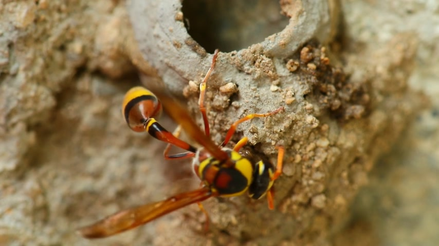 darázs : Potter wasp busy activity building its nest of mud, close up macro detail static shot in hd. Stock mozgókép
